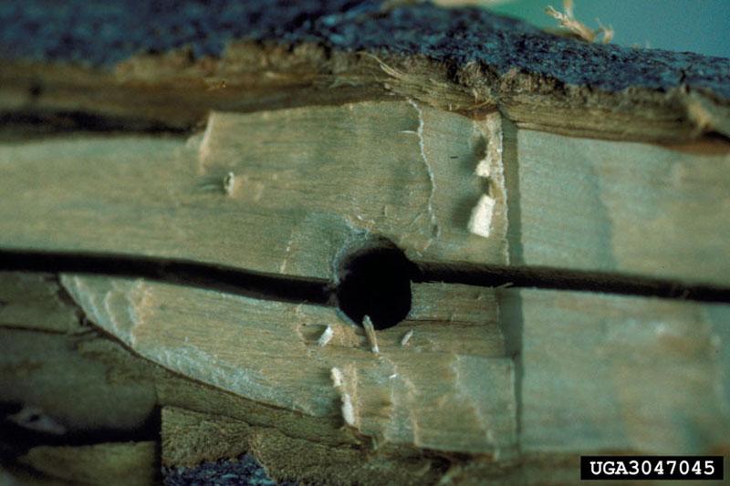 Longicorne asiatique