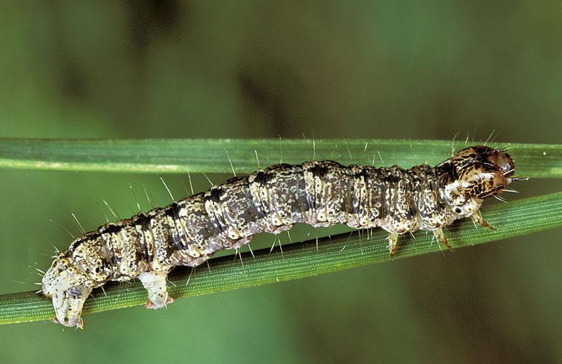 <em>Hydriomenaspeciosata</em> -