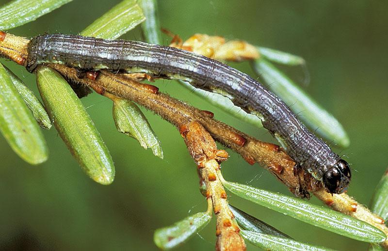 <em>Macariasignaria dispuncta</em> -