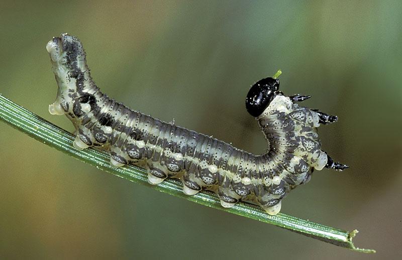 Diprion du pin sylvestre -