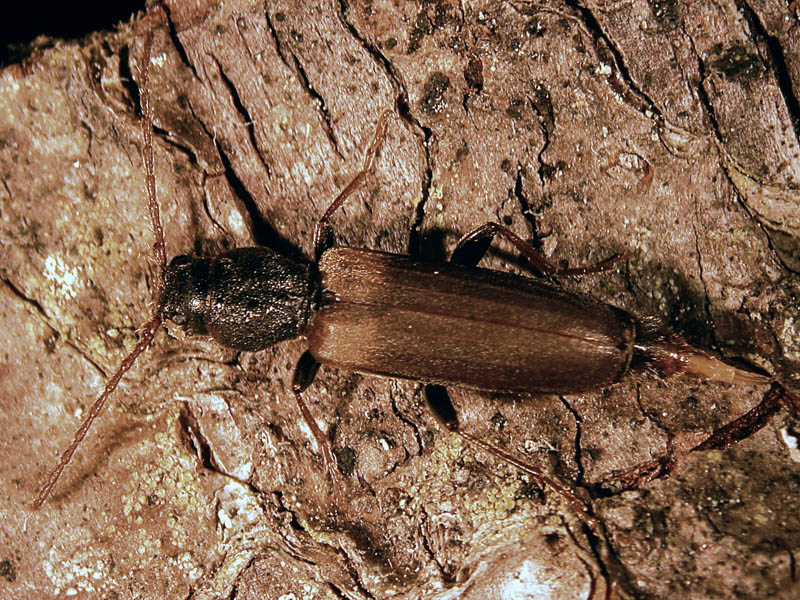Longicorne brun de l'épinette -