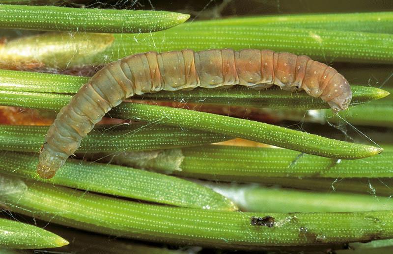 Mineuse des gaines foliaires du pin -