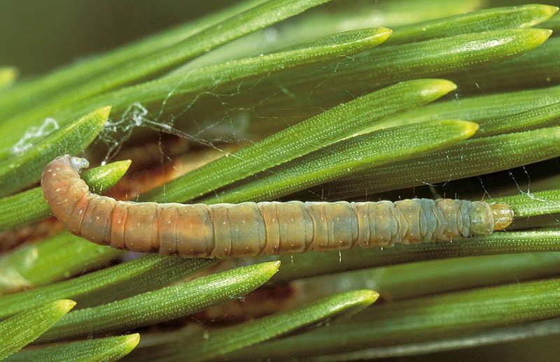 Mineuse des gaines foliaires du pin