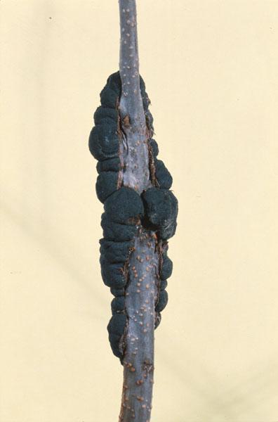 Nodule noir - Nodule noir