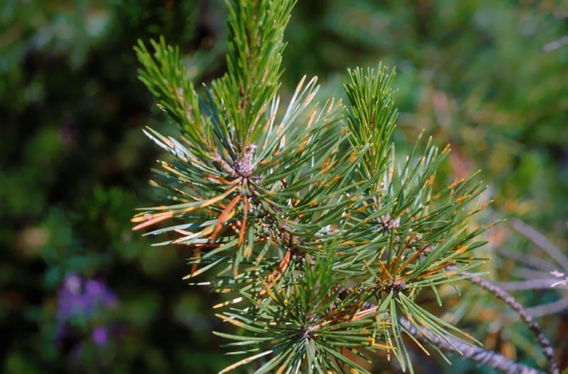 Rouille des aiguilles du pin