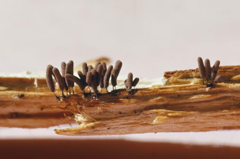 - Myxomycète le plus commun en Amérique du Nord / collection f-220