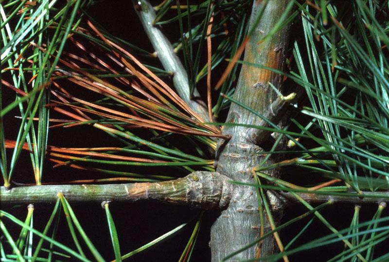 Rouille vésiculeuse du pin blanc - Aiguilles présentant de la rouille