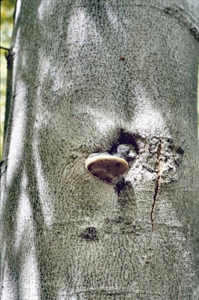Carie du tronc des feuillus