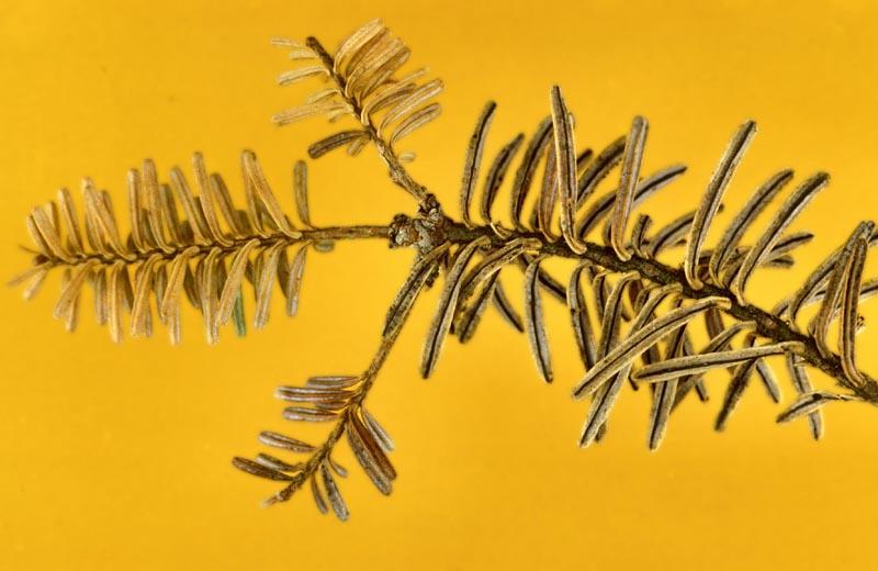 Rouge (<em>Isthmiella quadrispora</em>) - Fructifications (lignes noires) sous les aiguilles de sapin subalpin.