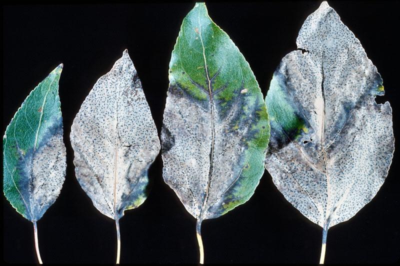 Brûlure des feuilles à <em>Linospora tetraspora</em>