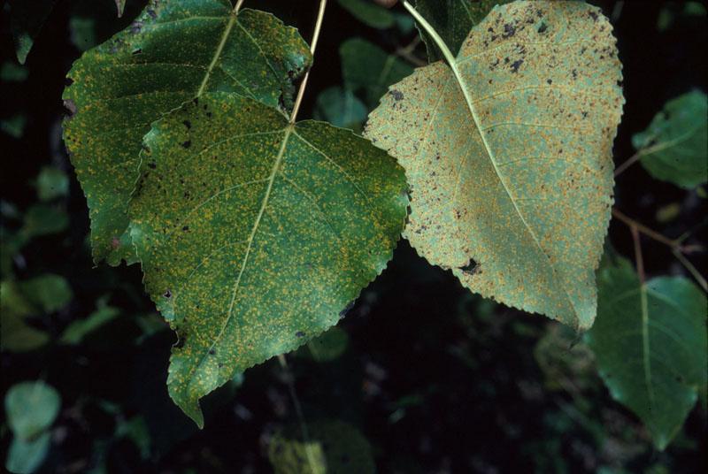 Rouille des feuilles du peuplier - Feuilles avec des frutifications de la rouille