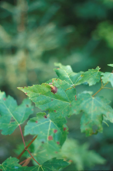 Tache des feuilles de l'érable