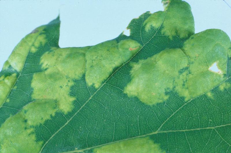 Cloque des feuilles du chêne - Feuille avec des cloques