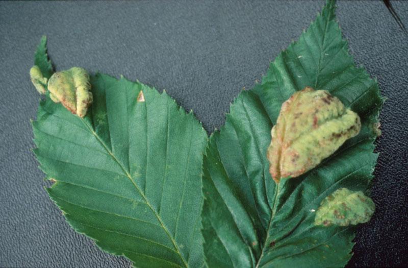 Cloque des feuilles du bouleau