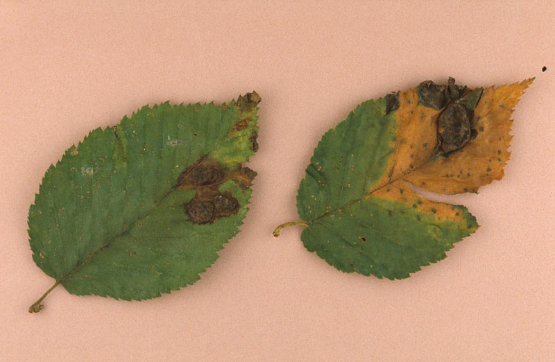 Cloque des feuilles du bouleau - Feuilles avec des cloques