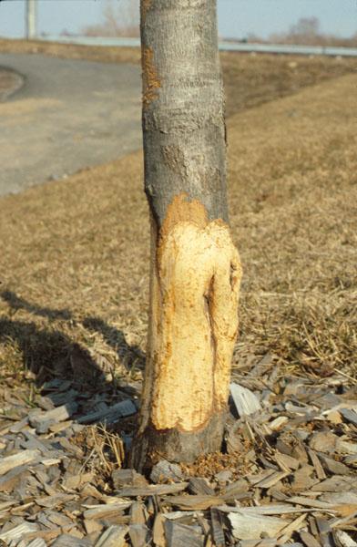 Mulot ou campagnol des champs - Écorce mangée à la base