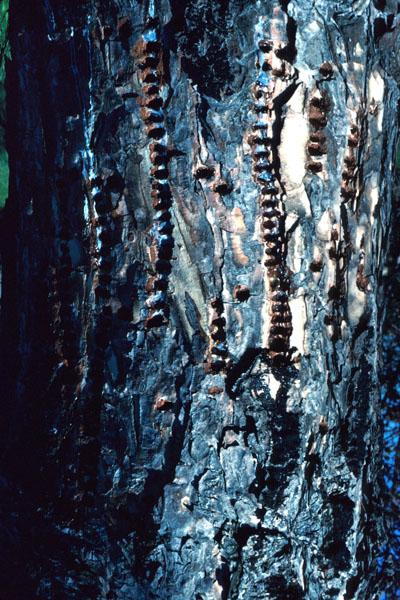 Pic maculé - Trous peu profonds en rangées sur le tronc