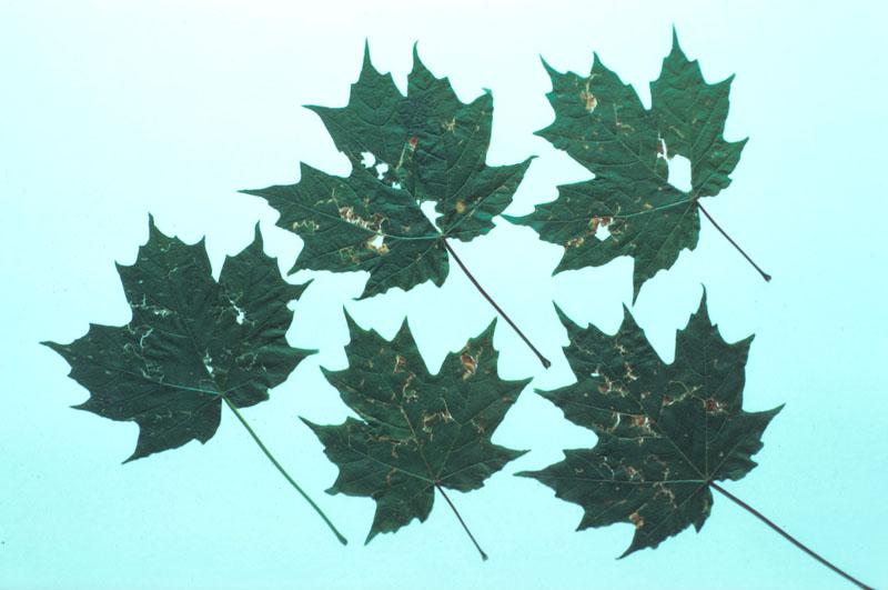 Bris de grêle - Perforation des feuilles par les grêlons