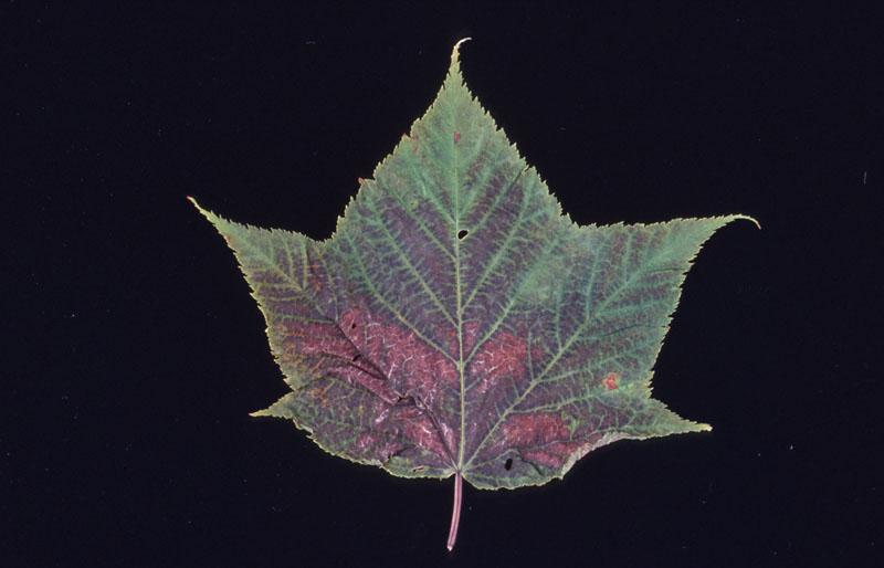 Intoxication à l'ozone - Rougissement des feuilles caractéristique de l'ozone