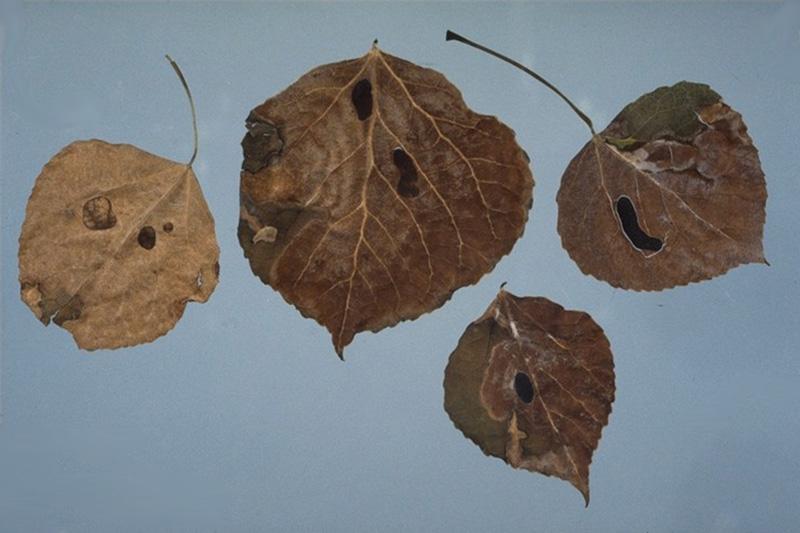 Tache d'encre - Sclérotes de <em>Ciborinia whetzelii</em> sur le peuplier faux-tremble