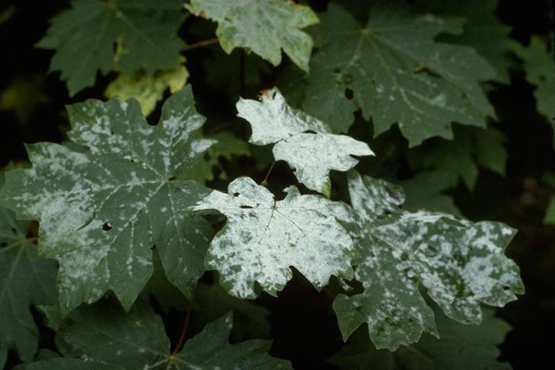 Blanc - <em>Uncinula bicornis</em> sur un érable à grandes feuilles