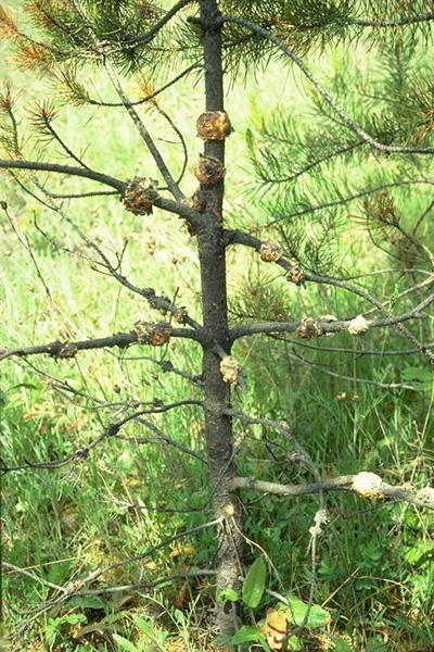 Rouille-tumeur autonome - Pin tordu avec tumeurs des branches et de la tige causées par <em>E. harknessii</em>