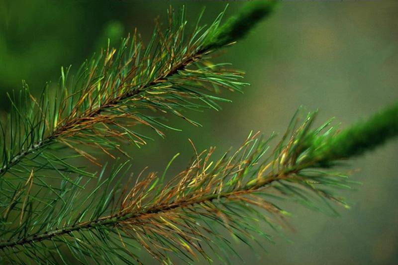 Rouge des pins - <em>Lophodermium</em> sp. sur un pin tordu