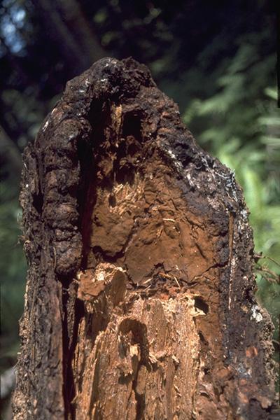 Carie laminée des racines du Douglas taxifolié