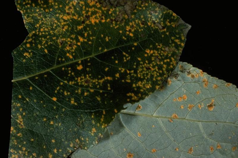 Rouille des conifères et du peuplier de l'Ouest - Urédies de <em>M. occidentalis</em> sur des feuilles de peuplier de l'Ouest