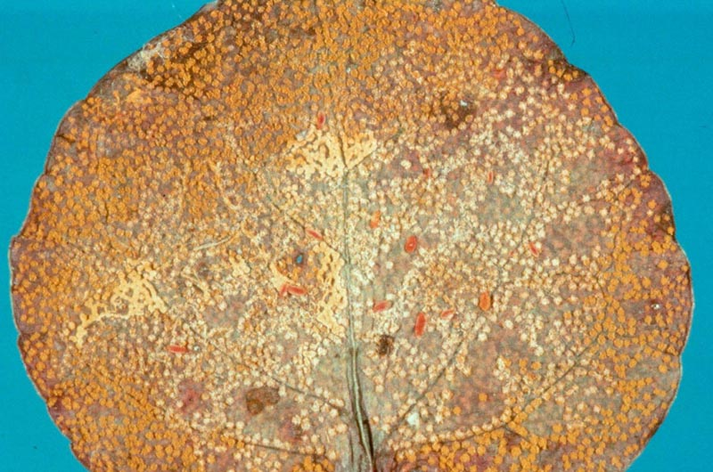 Rouille des cônes de l'épinette (régions intérieures) -