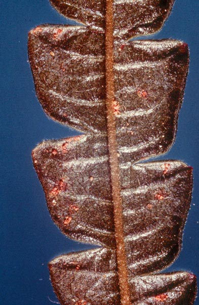 Rouille-tumeur noduleuse