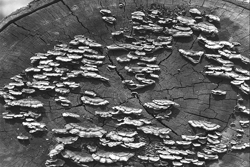 Carie brune cubique alvéolaire - Fructifications de <em>Veluticeps fimbriata</em> sur une bille de pruche de l'Ouest tombée