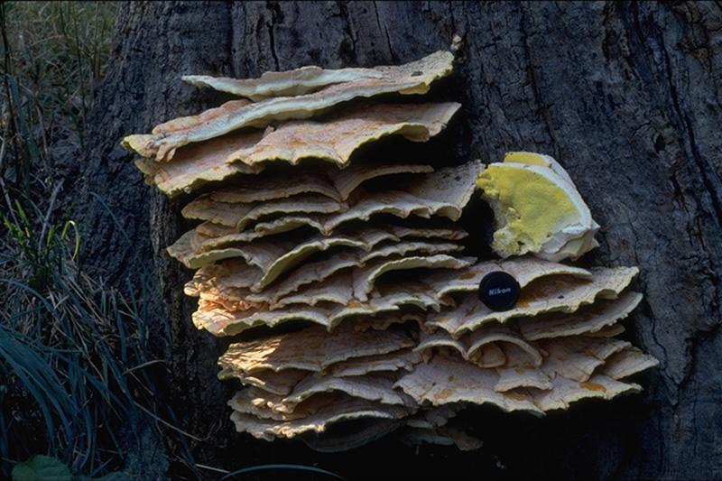 Carie brune cubique à <em>Laetiporus sulphureus</em>
