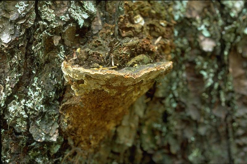 Carie blanche alvéolaire - Fructifications de <em>Phellinus pini</em> sur un pin