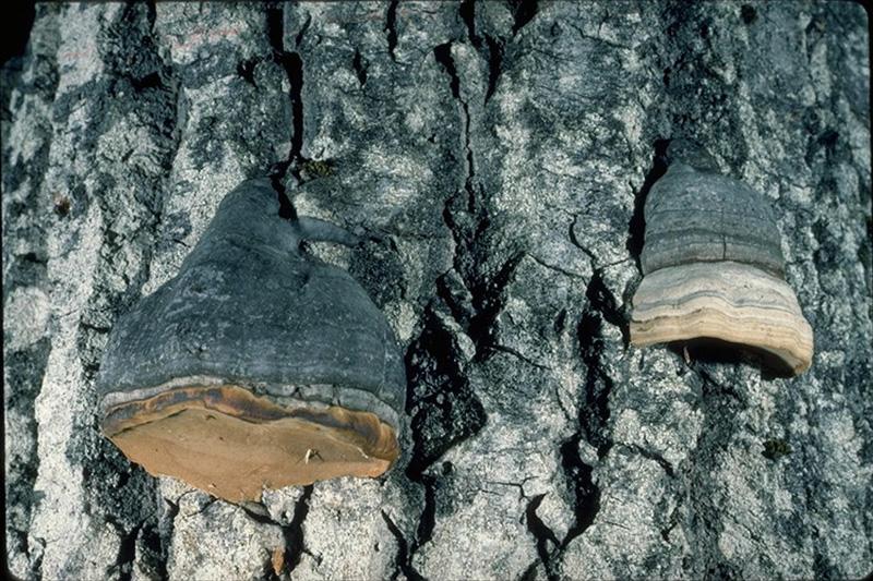 Carie blanche du tronc du tremble - Fructifications de <em>Phellinus tremulae</em>