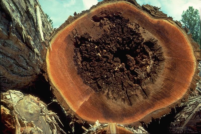 Carie alvéolaire du thuya - Carie brune cubique / Carie alvéolaire du thuya dans un thuya géant