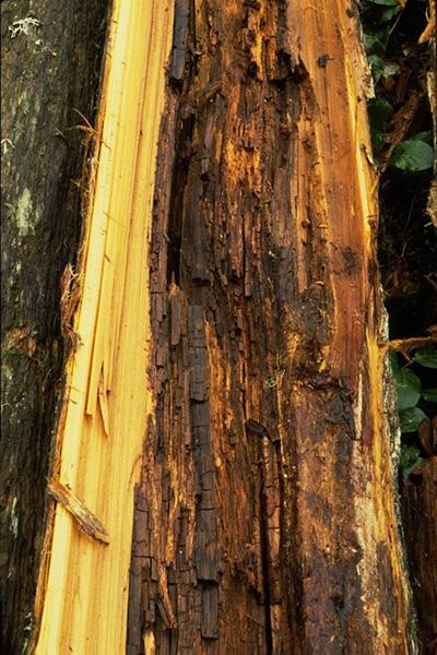 Carie brune cubique du pied à <em>Postia sericeomollis</em>