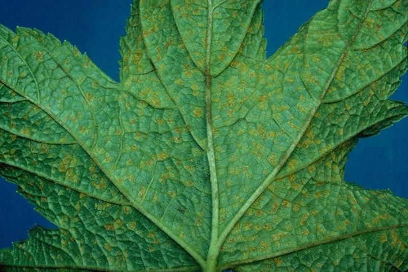 Rouille vésiculeuse du pin blanc