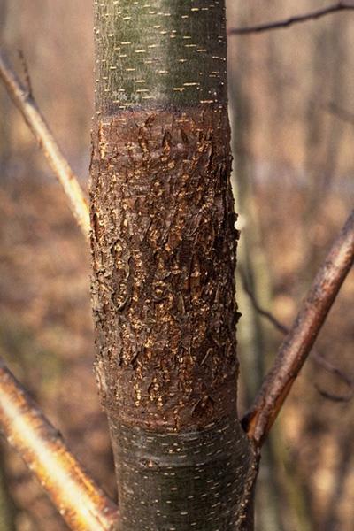 Chancre didymosphérien de l'aulne - Chancre causé par <em>Didymosphaeria oregonensis</em> sur l'aulne rouge