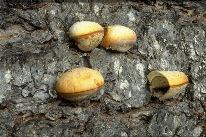 Carie rouge du pied et carie de l'aubier - Fructifications de <em>C. volvatus</em>, certaines disséquées longitudinalement pour montrer la surface productrice de spores «masquée» par une membrane. Le pore par lequel les spores sont libérées est visible
