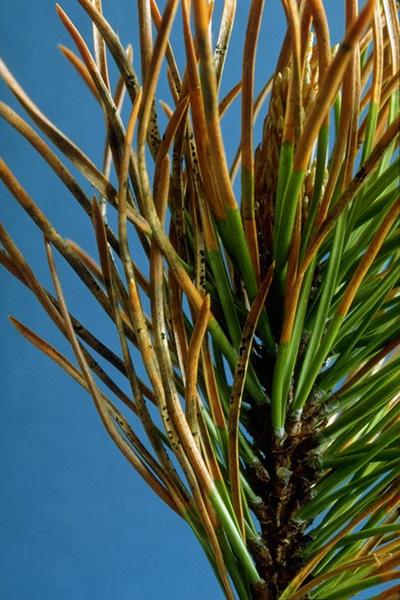 Rouge du pin - Aiguilles de pin tordu infectées par <em>L. concolor</em> et <em>Hendersonia pinicola</em> (taches noires)