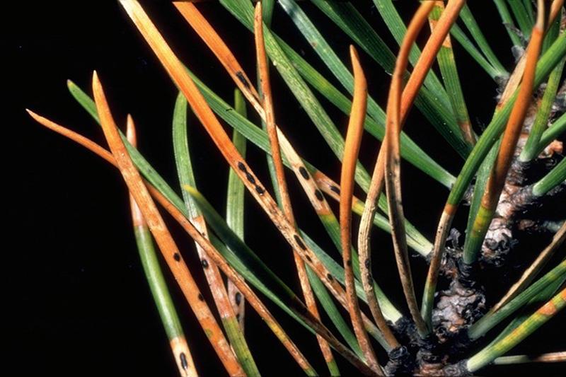 Rouge du pin gris - Fructifications de <em>Davisomycella ampla</em> sur un pin tordu
