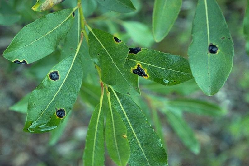 Tache goudronneuse à <em>Rhytisma salicinum</em> - Stromas de <em>Rhytisma salicinum</em> sur un saule