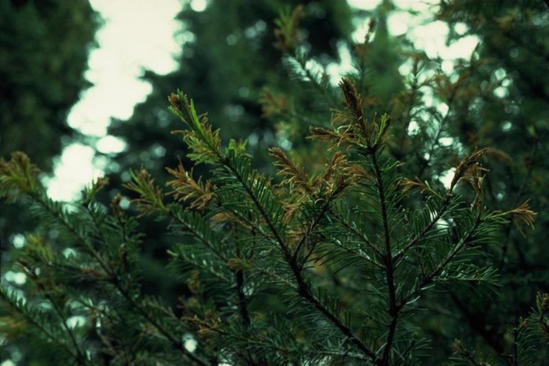 Brûlure des pousses à <em>Delphinella balsameae</em> - Symptômes de brûlure causée par <em>Delphinella</em> sur un sapin subalpin