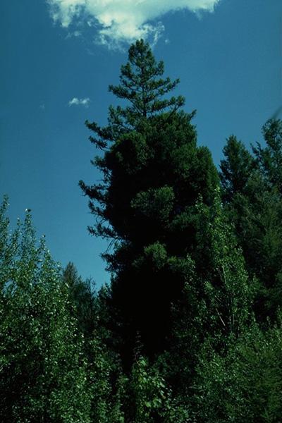 Faux-gui du Douglas vert