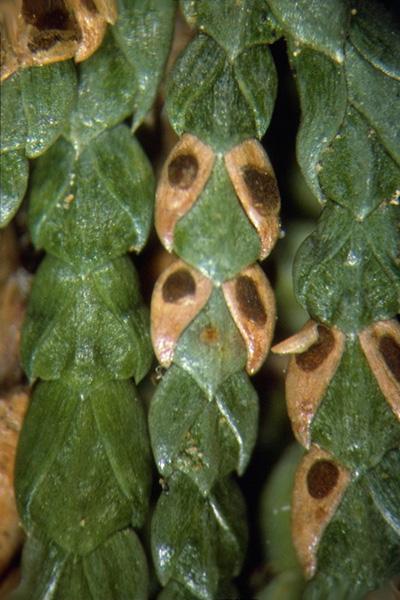 Brûlure des aiguilles du thuya - Apothèce de <em>Didymascella thujina</em> sur des feuilles individuelles de thuya géant