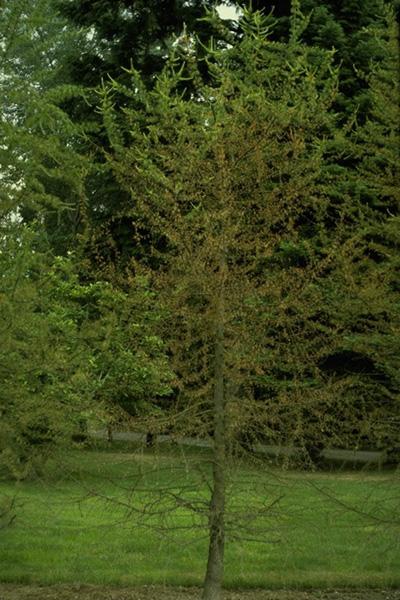 Brûlure des aiguilles du mélèze de l'Ouest - Altération de la couleur des aiguilles et défoliation d'un mélèze de l'Ouest infecté par <em>Meria laricis</em>