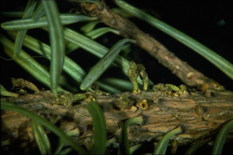 Faux-gui du Douglas vert - Petites tiges aériennes et coupes basales du faux-gui du Douglas taxifolié