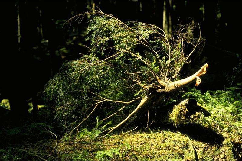 Faux-gui de la pruche - Branche cassée sous le poids d'un lourd balai formé par le faux-gui de la pruche sur une pruche de l'Ouest