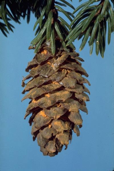 Rouilles des cônes de l'épinette - Éciospores de <em>Chrysomyxa pirolata</em> produites sous les écailles de cônes d'épinette